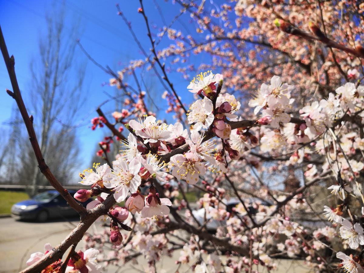 цветет абрикос 2.jpg